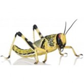 Locusts Live (per Tub)